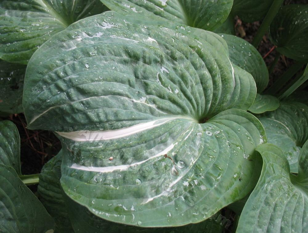 Photo of Hosta 'Spilt Milk' uploaded by ViolaAnn