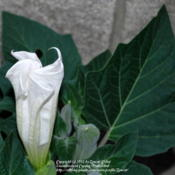 Location: West Valley City, UTDate: 2012-06-24Opening flower, unopened flowers and leaf.