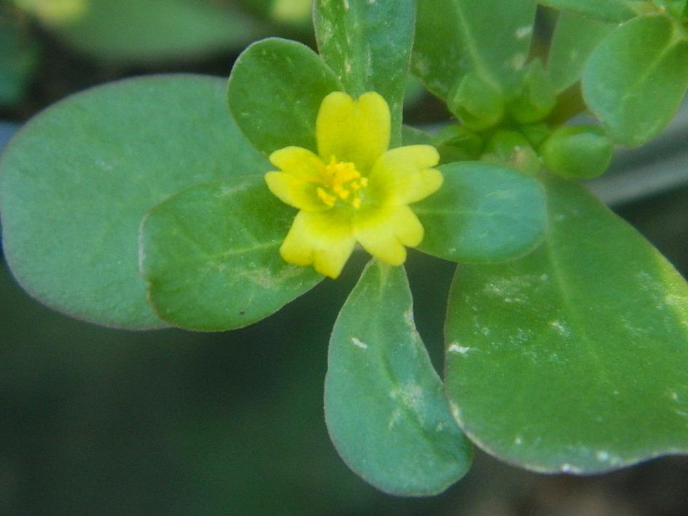 Photo of Purslane (Portulaca oleracea) uploaded by wildflowers