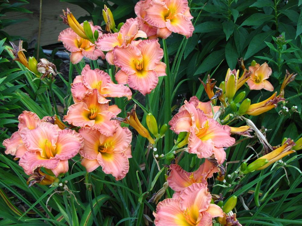 Photo of Daylily (Hemerocallis 'Smoky Mountain Autumn') uploaded by Claudia