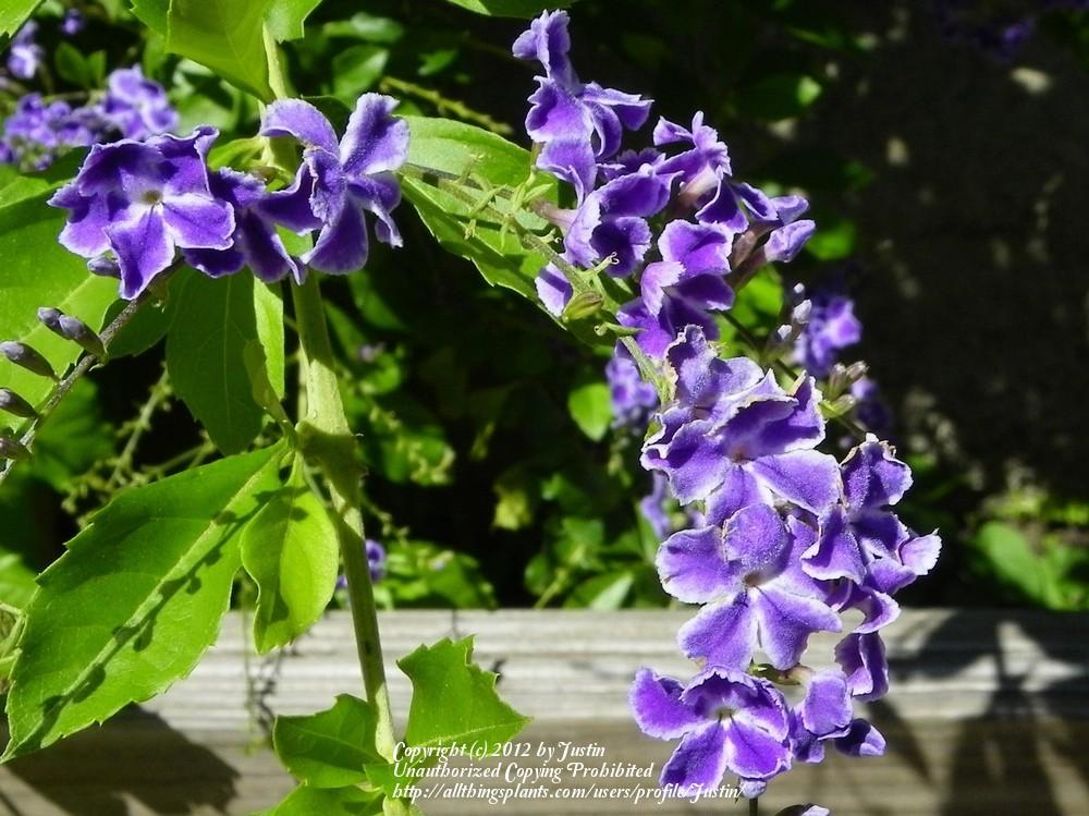 Photo of Sky Flower (Duranta erecta) uploaded by Justin