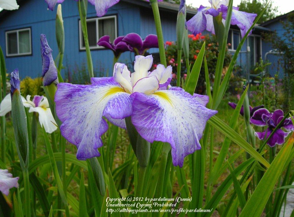 Photo of Japanese Iris (Iris ensata 'Freckled Peacock') uploaded by pardalinum