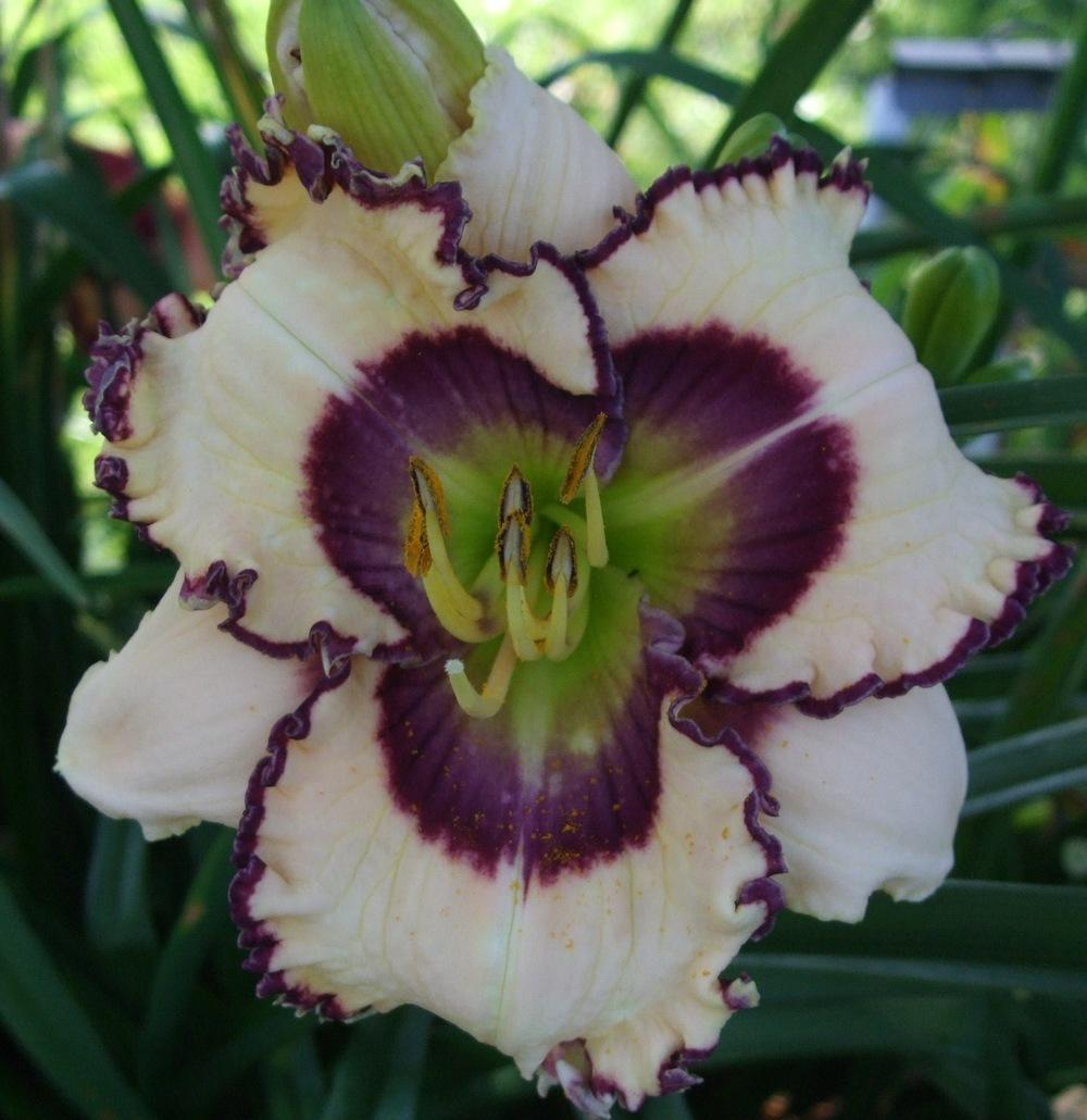 Photo of Daylily (Hemerocallis 'Lillian's Lying Eyes') uploaded by spunky1