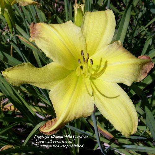 Photo of Daylily (Hemerocallis 'Valley Monster') uploaded by vic
