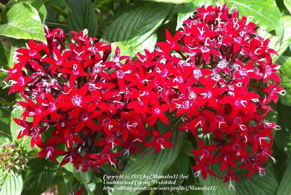 Photo of Star Flower (Pentas lanceolata) uploaded by MamaIve12