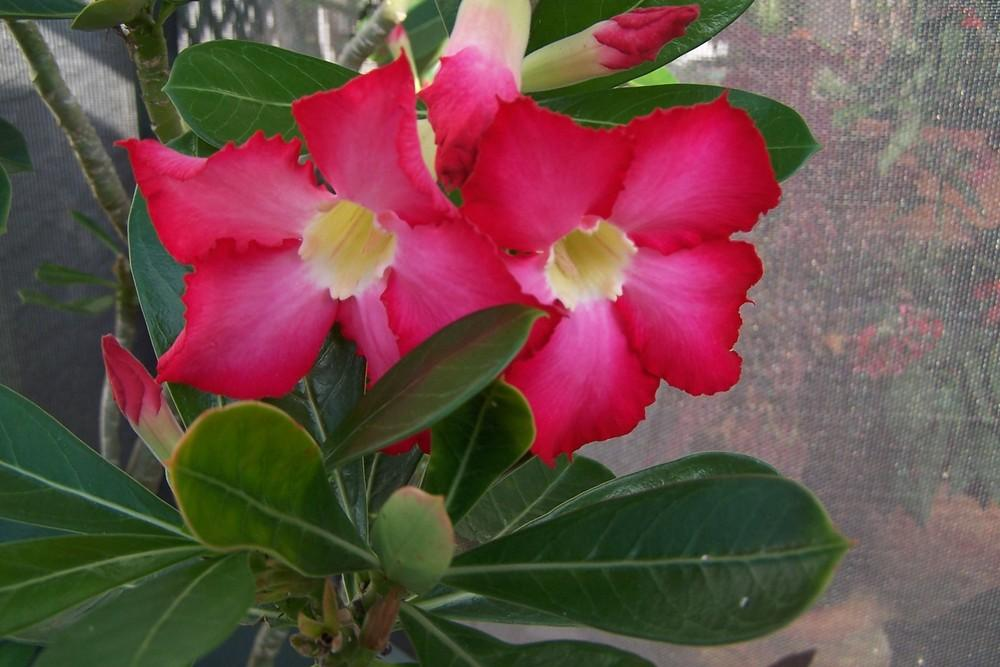 Photo of Adeniums (Adenium) uploaded by MamaIve12