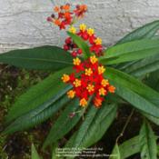Location: South FloridaDate: Spring 2012I have a couple of these, exclusively as a host plant. They get m