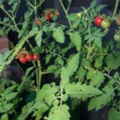 Location: South FloridaDate: Summer 2011Solanum pimpinellifolium: Tiny and sweet tomatoes, but