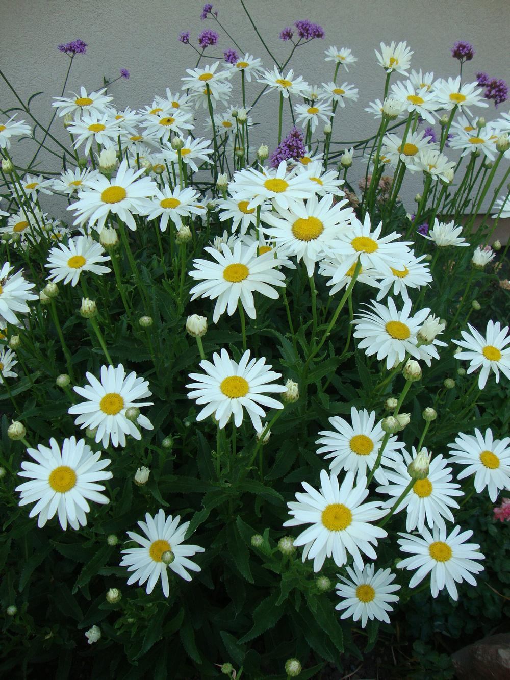 Shasta daisies plant care and collection of varieties garden add or edit informational text about this plant izmirmasajfo