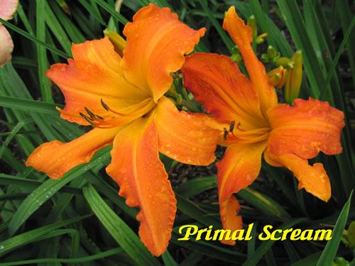 Photo of Daylily (Hemerocallis 'Primal Scream') uploaded by Joy