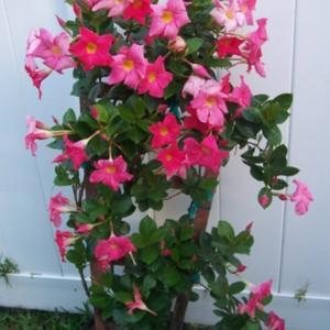 Marvellous Mandevilla Mandevilla Sanderi Sun Parasol Pink  Gardenorg With Exquisite In Zone  This Plant Flowers Almost Constantly And Very Little With Alluring Cherry Tree Lane Garden Centre Also Good Places To Eat In Covent Garden In Addition Gardening Jobs Wolverhampton And In The Night Garden Live Show Australia As Well As Hanging Gardens Babylon Additionally Storage Welwyn Garden City From Gardenorg With   Exquisite Mandevilla Mandevilla Sanderi Sun Parasol Pink  Gardenorg With Alluring In Zone  This Plant Flowers Almost Constantly And Very Little And Marvellous Cherry Tree Lane Garden Centre Also Good Places To Eat In Covent Garden In Addition Gardening Jobs Wolverhampton From Gardenorg
