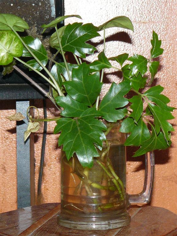 Propagation Water Rooting Houseplants Garden Org