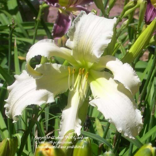 Photo of Daylily (Hemerocallis 'Heavenly Angel Ice') uploaded by vic