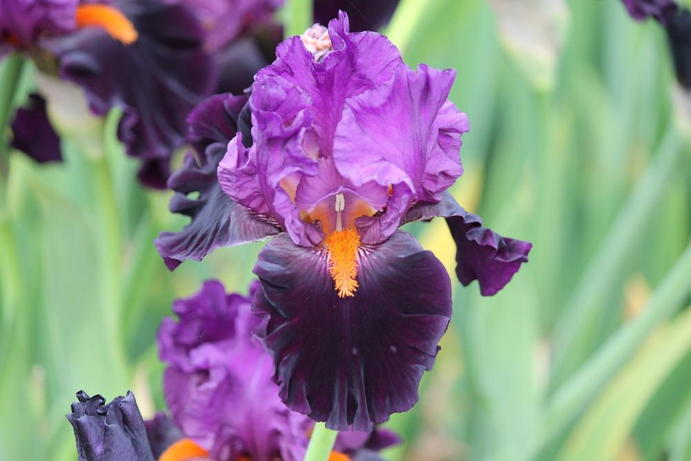 Photo of Tall Bearded Iris (Iris 'Sharp Dressed Man') uploaded by ARUBA1334