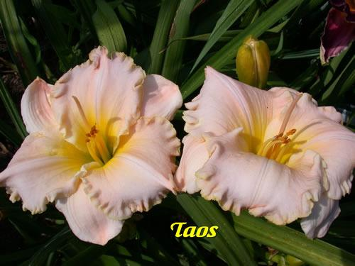Photo of Daylily (Hemerocallis 'Taos') uploaded by Joy