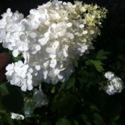 Location: Medina, TNDate: 2012-06-30'Vanilla Strawberry' has huge blooms that start off very white. T