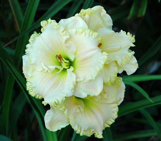 Photo of Daylily (Hemerocallis 'Ice Cream Emperor') uploaded by shive1