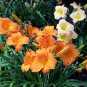 Image courtesy of Charlotte's Daylily Diary. Used with