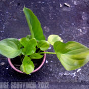 Date: 2012-07-06[...my Calla Lily starting out after being in the loft hybernatin