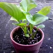 Date: 2012-07-06[...arum Lily leaves.]