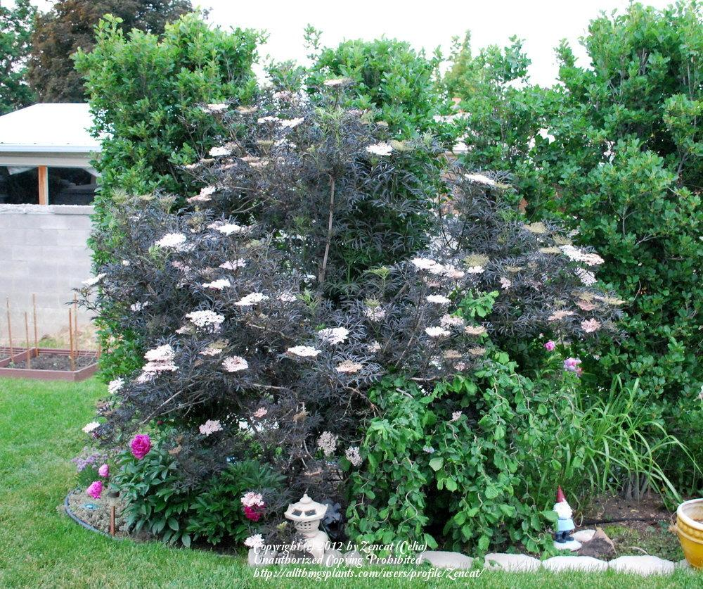 photo of the entire plant of elderberry sambucus nigra. Black Bedroom Furniture Sets. Home Design Ideas