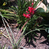Location: Medina, TNDate: 2012-07-02Hesperaloe 'Brakelights' also develops blooms on the side of bloo