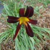 Image courtesy of Johnson Daylily Gardens Used with per