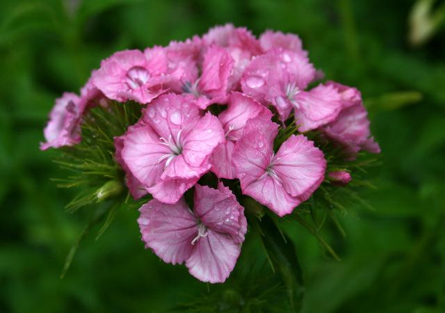 Photo of Dianthus uploaded by Calif_Sue
