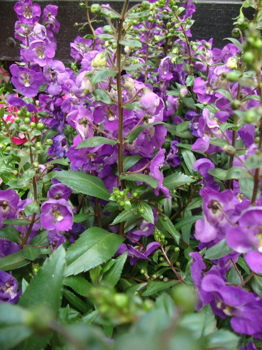 Photo Of The Entire Plant Of Summer Snapdragon Angelonia