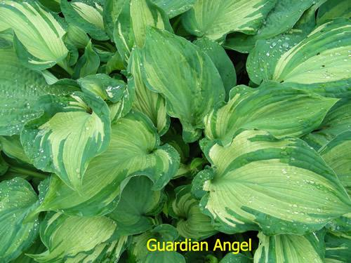 Photo of Hosta 'Guardian Angel' uploaded by Joy