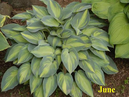 Photo of Hosta 'June' uploaded by Joy