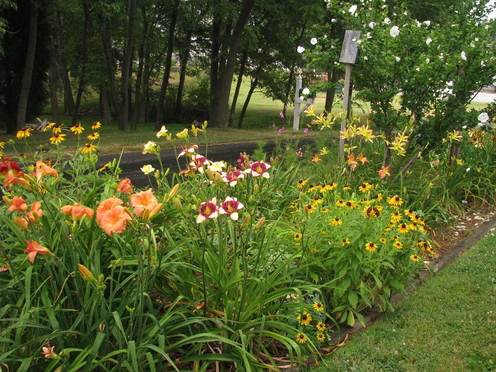 Photo of Daylilies (Hemerocallis) uploaded by blue23rose