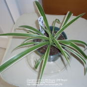 Location: JBsPlants at Roblyn Farm, New JerseyDate: 2010-01-09Reverse Variegated Spider Plant