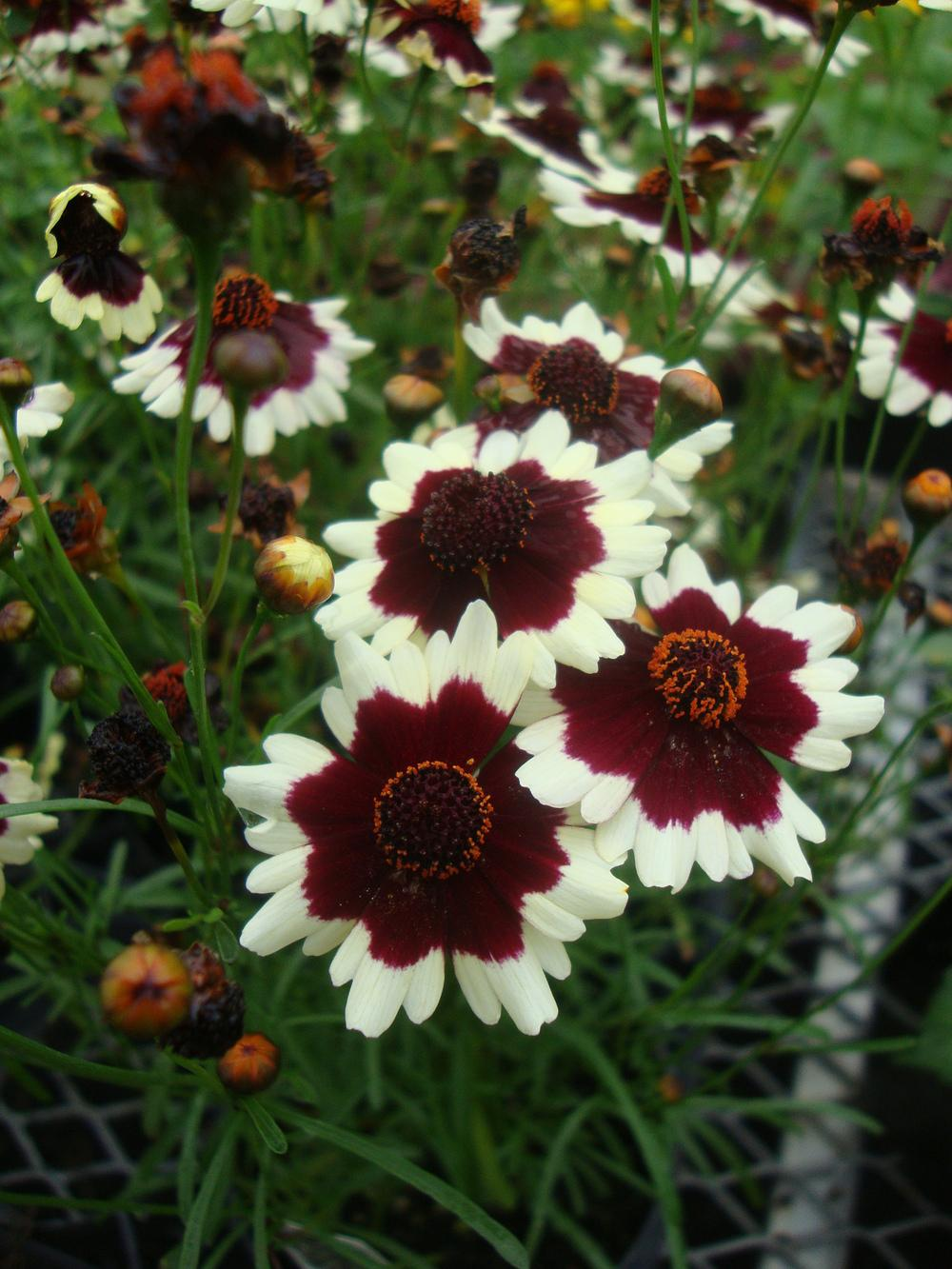 Photo of Tickseed (Coreopsis 'Coloropsis Jive') uploaded by Paul2032