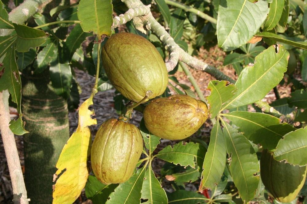 Photo of Wild Chestnut (Pachira insignis) uploaded by RobertB