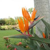 Location: Bradenton, FloridaDate: 2012-07-04Double Bloom on Bird of Paradise