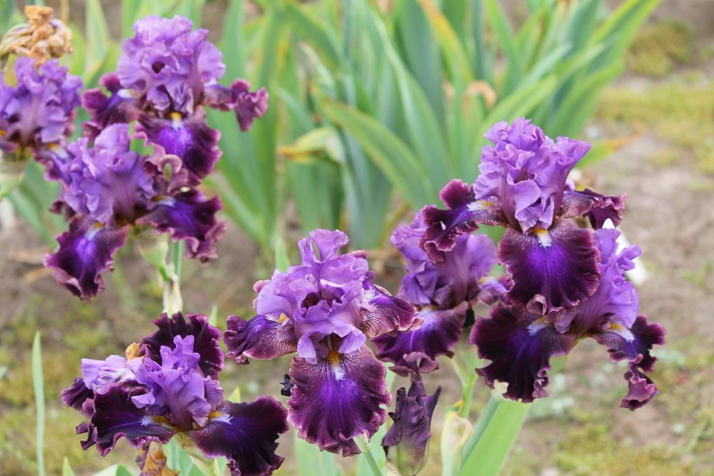 Photo of Tall Bearded Iris (Iris 'Electric Candy') uploaded by ARUBA1334