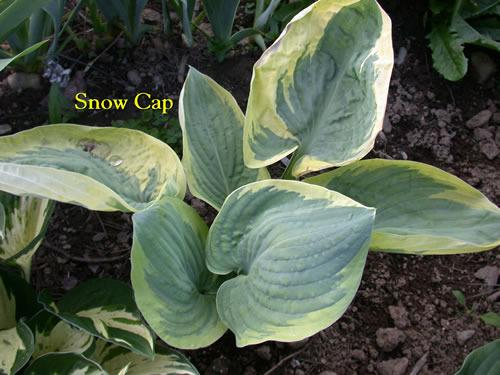 Photo of Hosta 'Snow Cap' uploaded by Joy