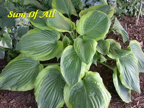 Photo Of The Entire Plant Of Hosta Sum Of All Posted By Joy