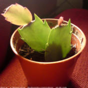 Date: 2012-07-06[...christmas cactus cuttings doing great.]