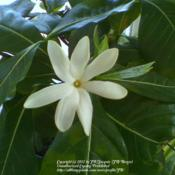 Location: JBsPlants at Roblyn Farm, New JerseyDate: 2008Gardenia taitensis