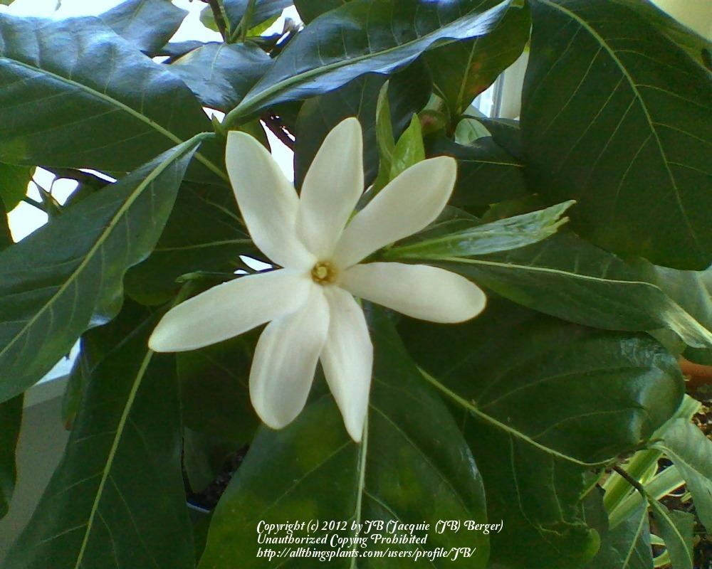 Photo of Tiare (Gardenia taitensis) uploaded by JB