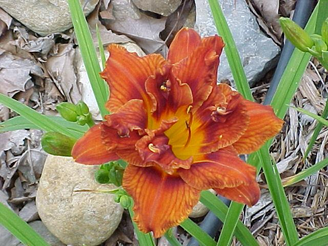 Photo of Daylily (Hemerocallis 'Double Bourbon') uploaded by Calif_Sue