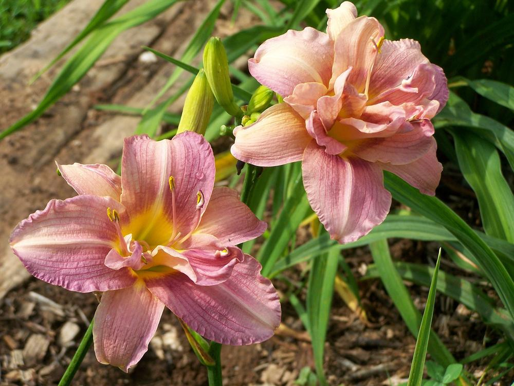 Photo of Daylily (Hemerocallis 'Dublin Elaine') uploaded by Calif_Sue