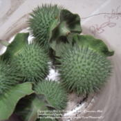 Location: Plano, TXDate: 2012-05-02Very spiky and sharp seed pods