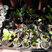 Location: Plano, TXDate: 2012-06-28These seedlings range from 1 month to 9 months old