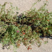 Location: Mackinaw, IllinoisDate: 2012-07-09Thirty-six little portulacas, in six packs.  Very shallow roots,