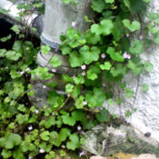 Date: 2012-07-07[...this Ivy-leaved Toadflax is just absolutely taking