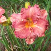 Photo Courtesy of Alcovy Daylily Farm. Used with Permis