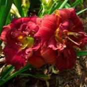 Photo Courtesy of Alcovy Daylily Farm. Used with Permission.
